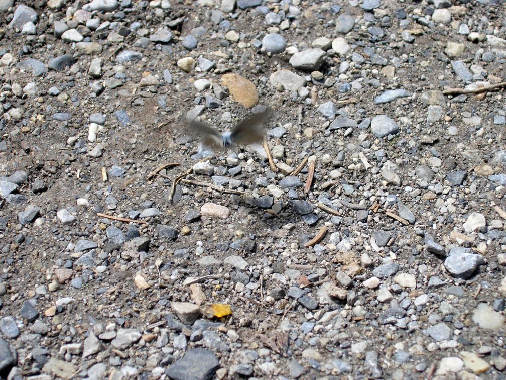 alpine flutter for website